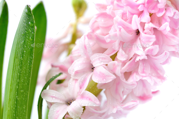 Pink hyacinth with drops of water on a white background - Stock Photo - Images