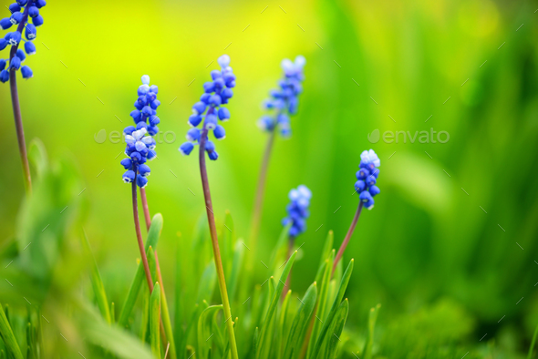 Blue Hyacinth Muscari (Muscari botryoides) in spring sunny day - Stock Photo - Images