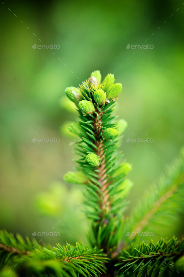 Spruce tree branch with young shoots and fresh green buds, needl - Stock Photo - Images