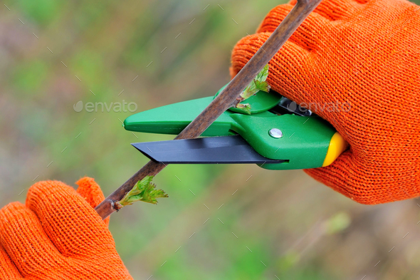 Hands in gloves of gardener doing maintenance work, cutting the - Stock Photo - Images