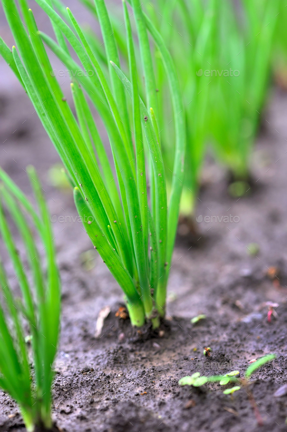 Close-up of the onion plantationl. Selective focus - Stock Photo - Images