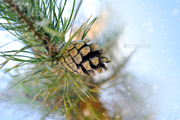 Pine branch with pinecone winter - Stock Photo - Images