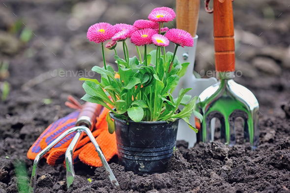 Beautiful marguerite flowers and garden tools - Stock Photo - Images