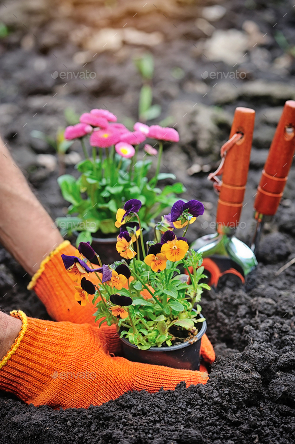 Gardeners hands planting flowers in a garden - Stock Photo - Images