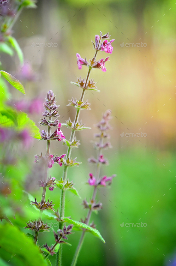 This is Stachys sylvatica, from the family Lamiaceae - Stock Photo - Images