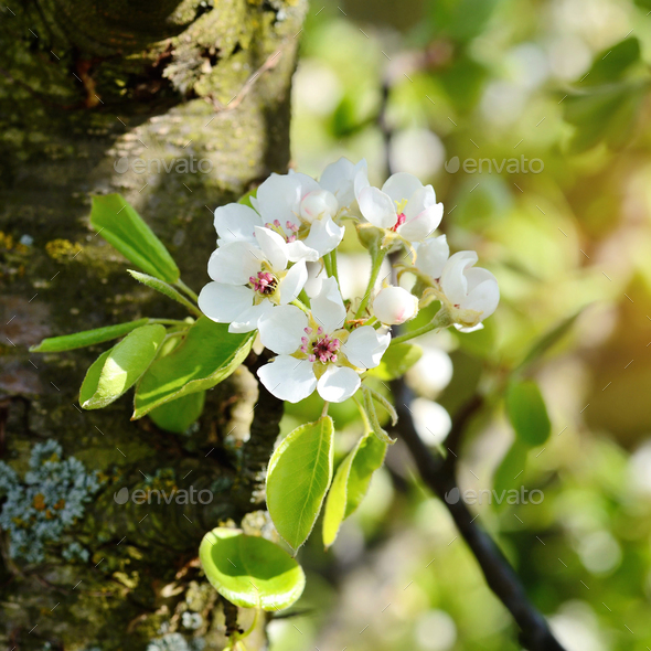 Flowers bloom on a branch of pear in sunlight - Stock Photo - Images
