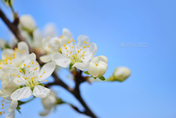 Flowers bloom on a branch of plum against blue sky - Stock Photo - Images