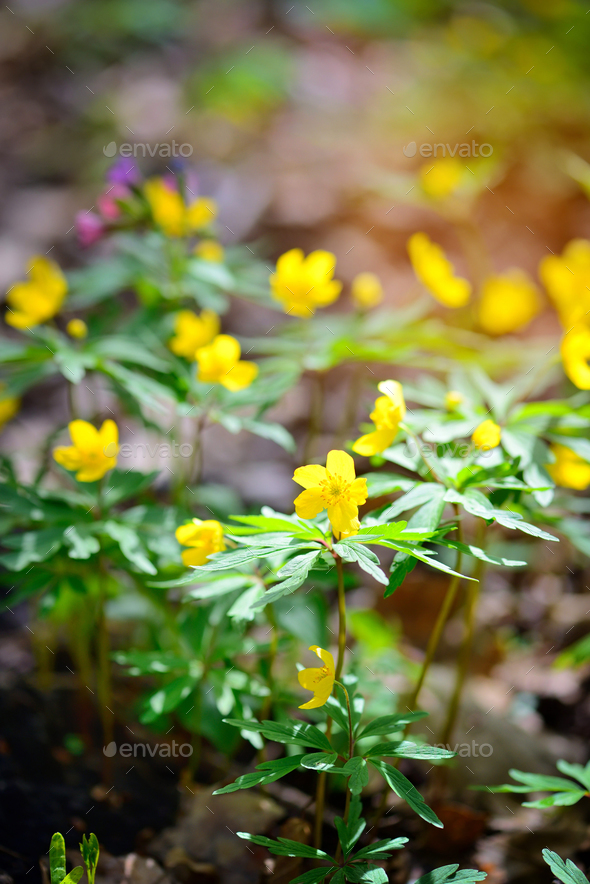The yellow wood anemone (in Latin: Anemone Ranunculoides) blooms - Stock Photo - Images