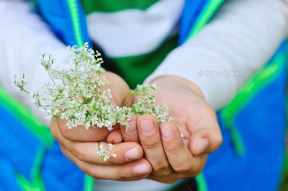 Small white flowers in children's hands - Stock Photo - Images