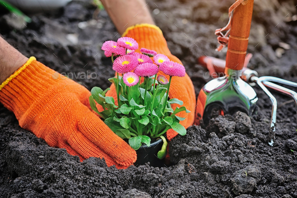 Gardeners hands planting marguerite flowers in garden - Stock Photo - Images