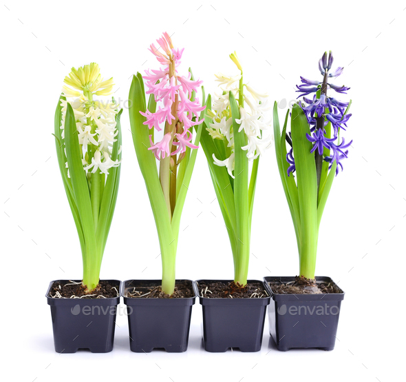 Vibrant multicolored hyacinth spring flowers isolated on white b - Stock Photo - Images