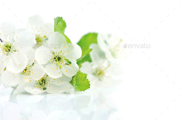 Cherry twig in bloom isolated on a white background - Stock Photo - Images
