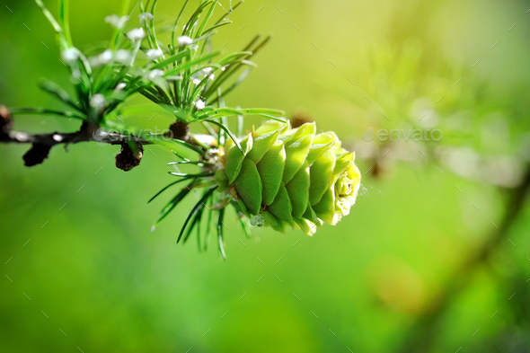 Young cone of larch tree in sunlight - Stock Photo - Images