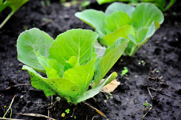 Young cabbage growing in the field. Cabbage seedlings in the gar - Stock Photo - Images
