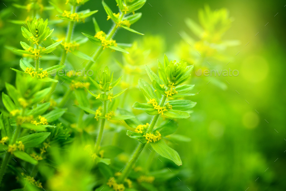 Flowering Cruciata plants with flowers in the meadow - Stock Photo - Images
