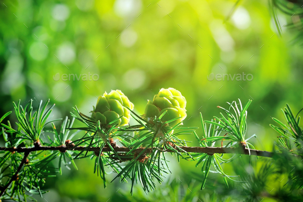 Young cones of larch tree in sunlight - Stock Photo - Images