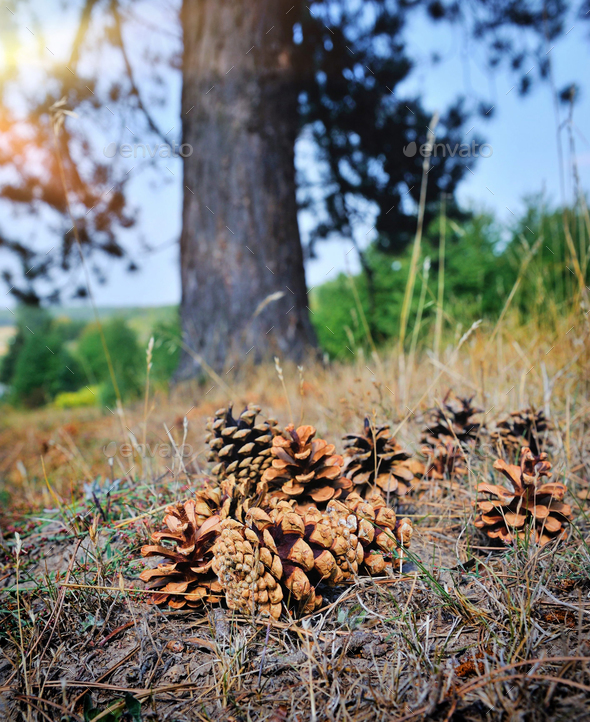 Pine cones on the forest floor with intentional shallow depth of - Stock Photo - Images