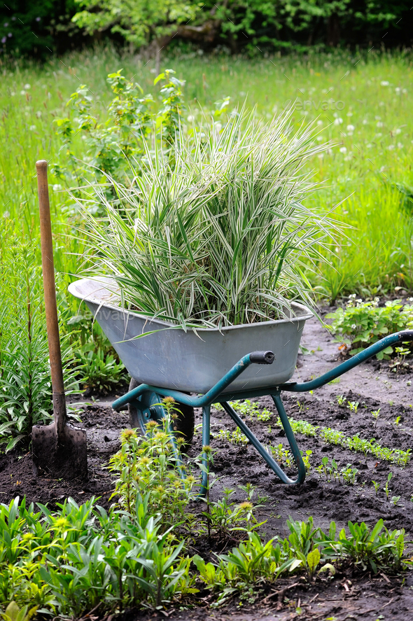 Wheelbarrow full with decorative sedges (Reed canary grass) and - Stock Photo - Images