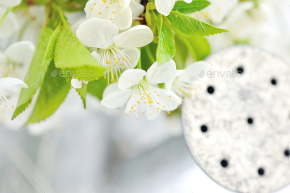 Cherry twig in bloom with a watering-can in the background - Stock Photo - Images