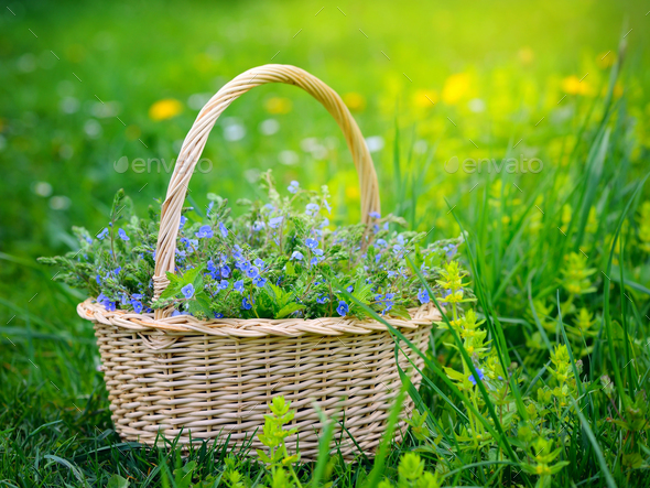 Veronica flowers (Veronica chamaedrys) in a basket on the grass - Stock Photo - Images