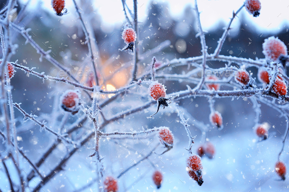 Red rosehip berries with hoar frost - Stock Photo - Images