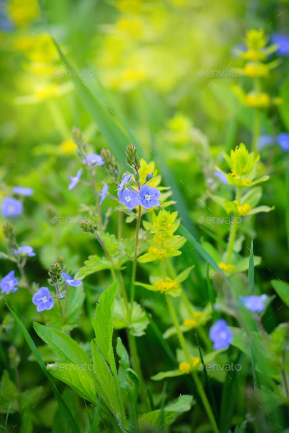 Veronica flowers (Veronica chamaedrys) in the meadow - Stock Photo - Images