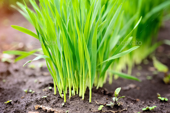 Young  green shoots of wheat at the beginning of their growth, a - Stock Photo - Images