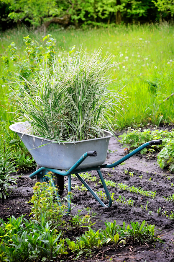 Wheelbarrow full with decorative sedges (Reed canary grass) for - Stock Photo - Images