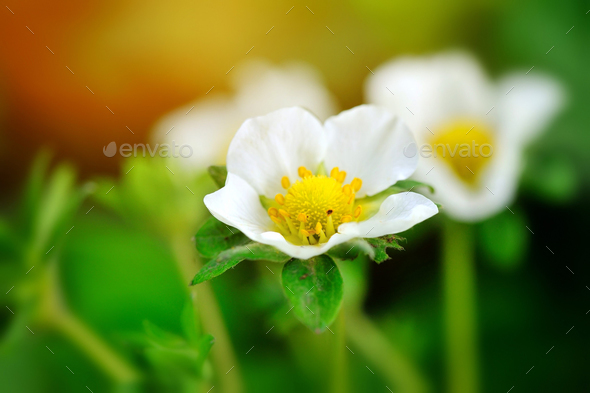 Closeup strawberry flowers on a natural green background - Stock Photo - Images
