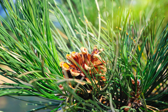 Fluffy pine branch with cone in the sun - Stock Photo - Images