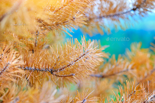 Yellow pine needles as background - Stock Photo - Images