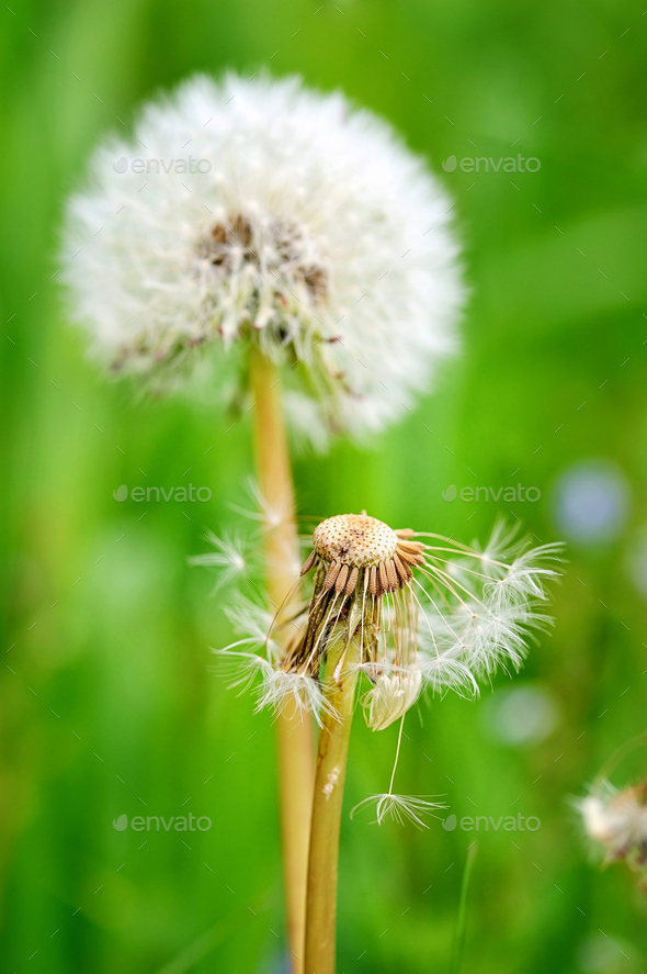 Closeup dandelion seeds on a natural green background - Stock Photo - Images