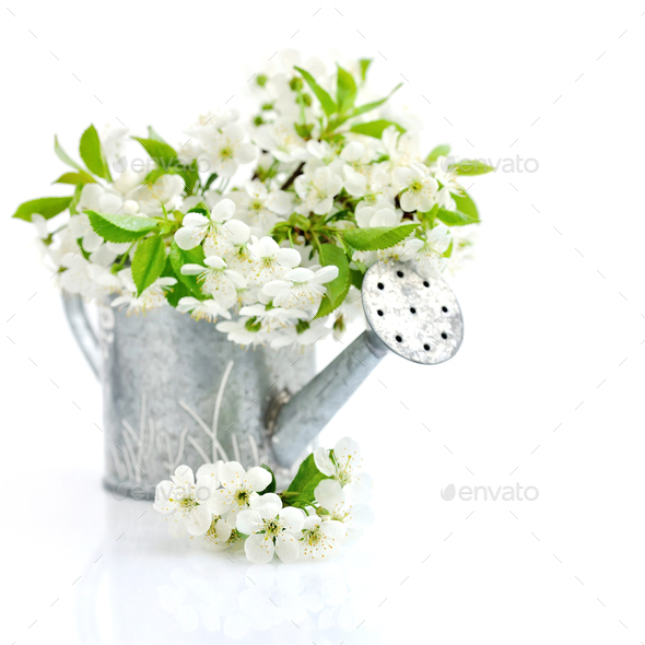 Watering can with cherry flowers on a white background - Stock Photo - Images