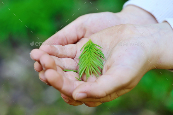 Closeup young spruce branch in children's hands - Stock Photo - Images