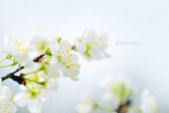 Flowers bloom on a branch of plum. Soft focus - Stock Photo - Images