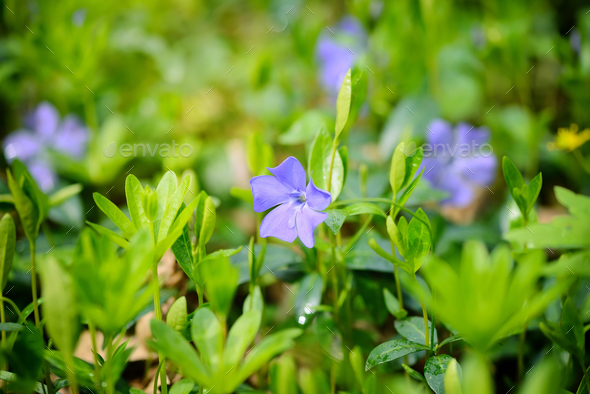 Periwinkle Vinca blue spring flowers in the forest - Stock Photo - Images
