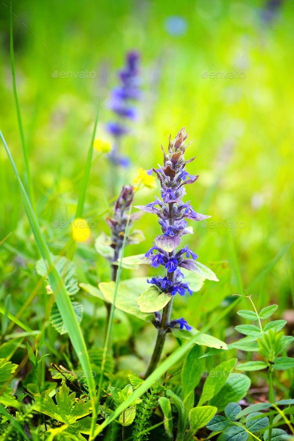 Blooming blue bugleweeds (Ajuga reptans) in the summer meadow - Stock Photo - Images