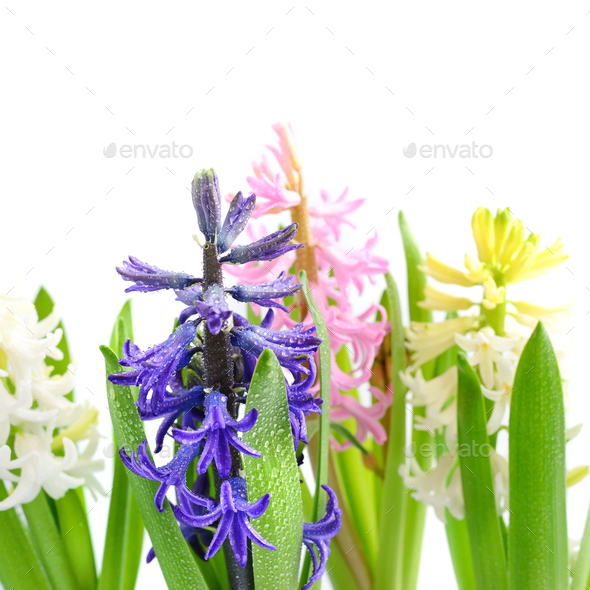 Group multicolored hyacinths with drops of water on a white back - Stock Photo - Images