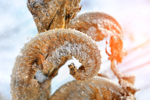 Frozen dry plants in morning close-up in winter - Stock Photo - Images