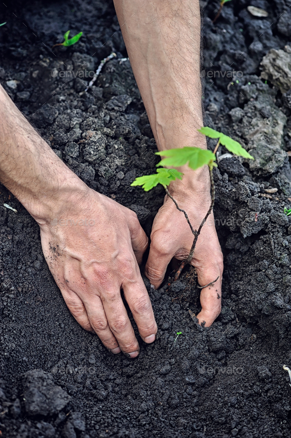 Gardener planting a young tree in the soil. Closeup hand of the - Stock Photo - Images