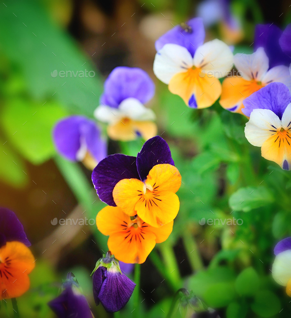 Tricolor pansy flower plant natural background, springtime - Stock Photo - Images