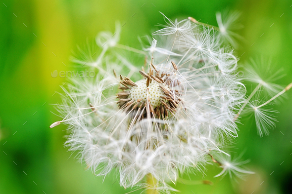 Closeup dandelion seeds on a green background - Stock Photo - Images