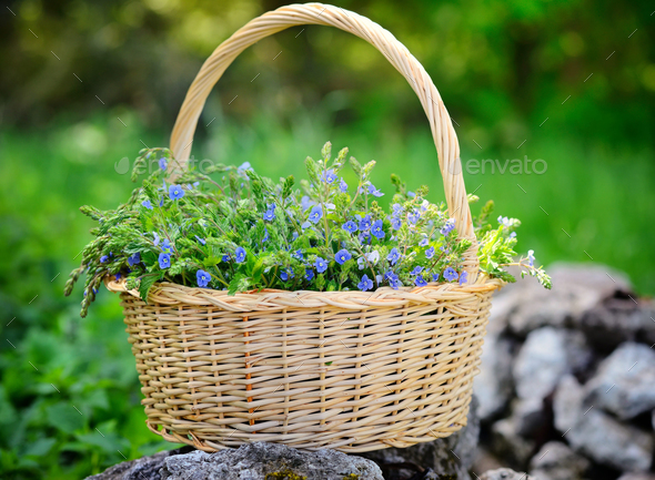 Veronica flowers (Veronica chamaedrys) in a basket in the meadow - Stock Photo - Images