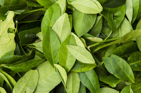 Leafs - Stock Photo - Images