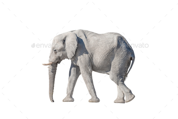 African elephant, isolated on white, covered with white calcrete dust - Stock Photo - Images
