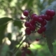 Red Ripe Berries on Branches Viburnum Tree in Wild Nature on Summer Forest - VideoHive Item for Sale