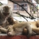 Monkeys in the City of Kathmandu - VideoHive Item for Sale
