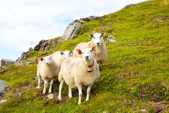 Flock of Lofoten sheep - Stock Photo - Images
