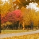 Mapple Leaves Falls in Autumn Park - VideoHive Item for Sale