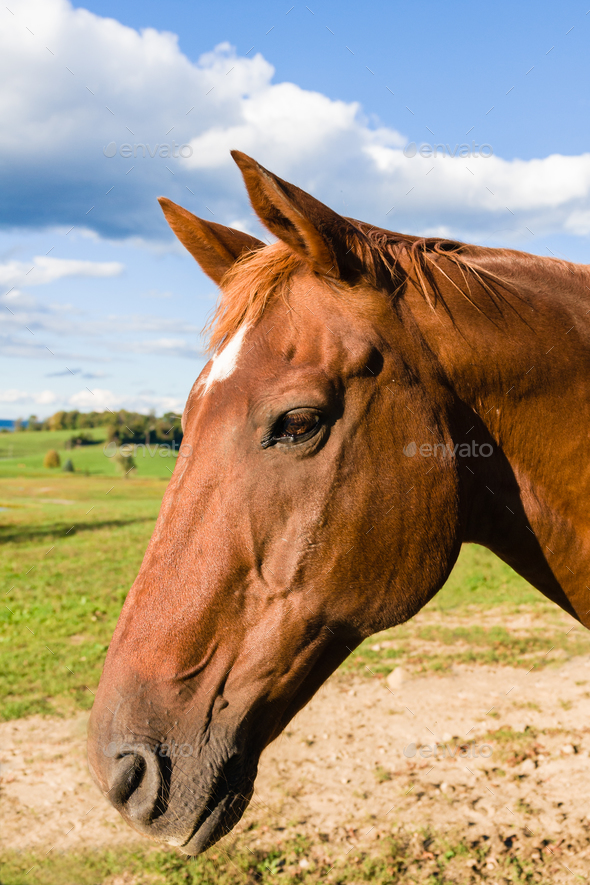 Chestnut Color Thoroughbred Horse - Stock Photo - Images